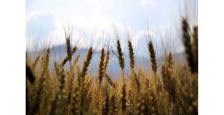 https://www.ooka.co.za/image/cache/catalog/wheat-1149885_640-1170x600.jpg